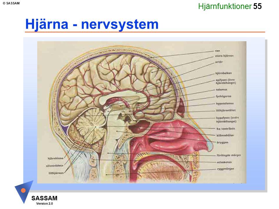 Hjärna - nervsystem Kommentar bild 36 (fördjupning hjärna 8):