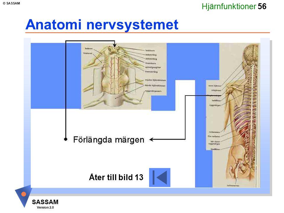 Anatomi nervsystemet Åter till bild 13
