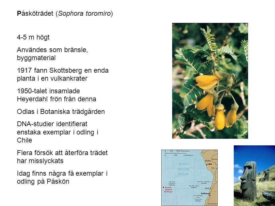 Påsköträdet (Sophora toromiro)