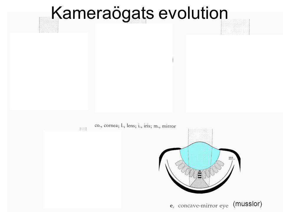Kameraögats evolution