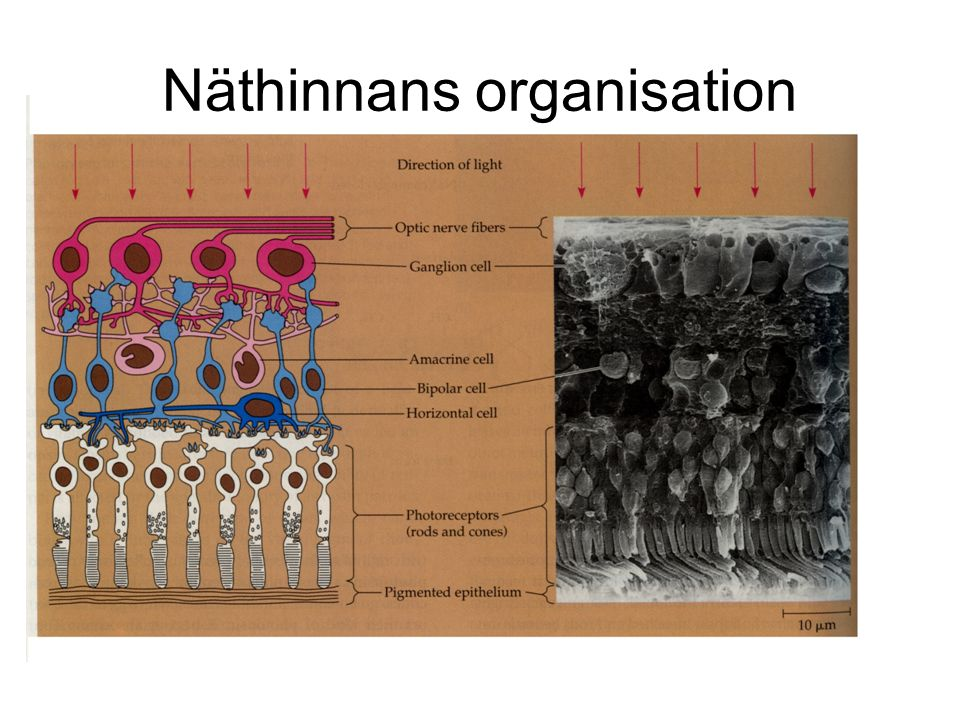 Näthinnans organisation