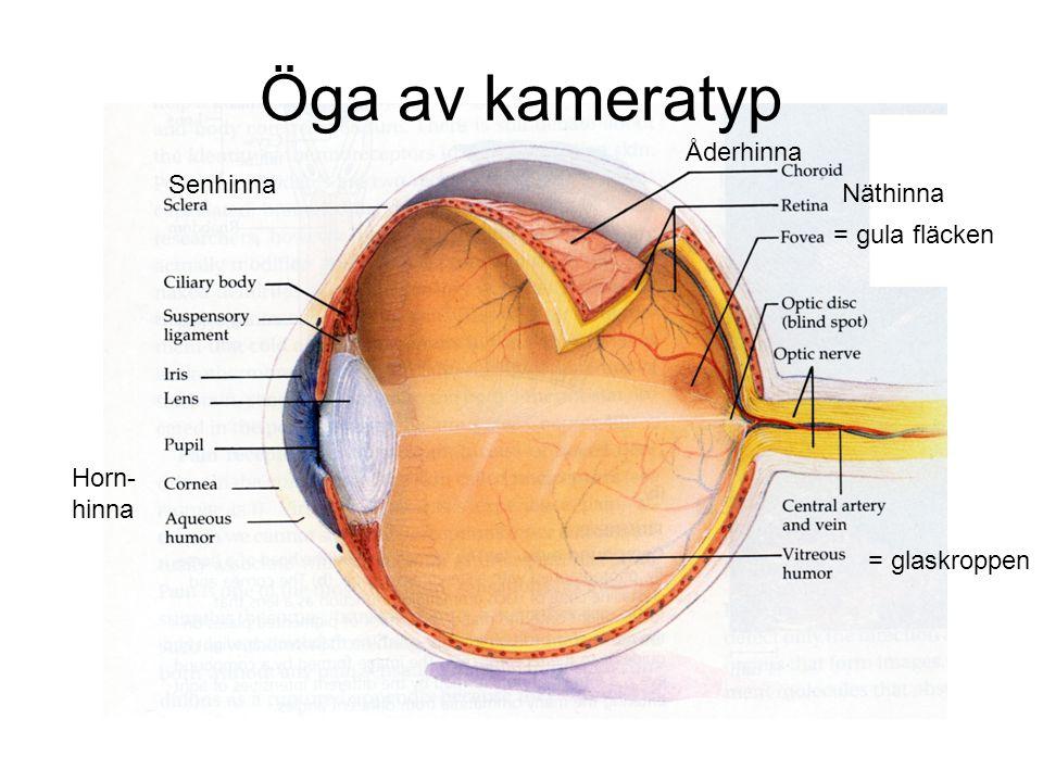 Öga av kameratyp Åderhinna Senhinna Näthinna = gula fläcken Horn-