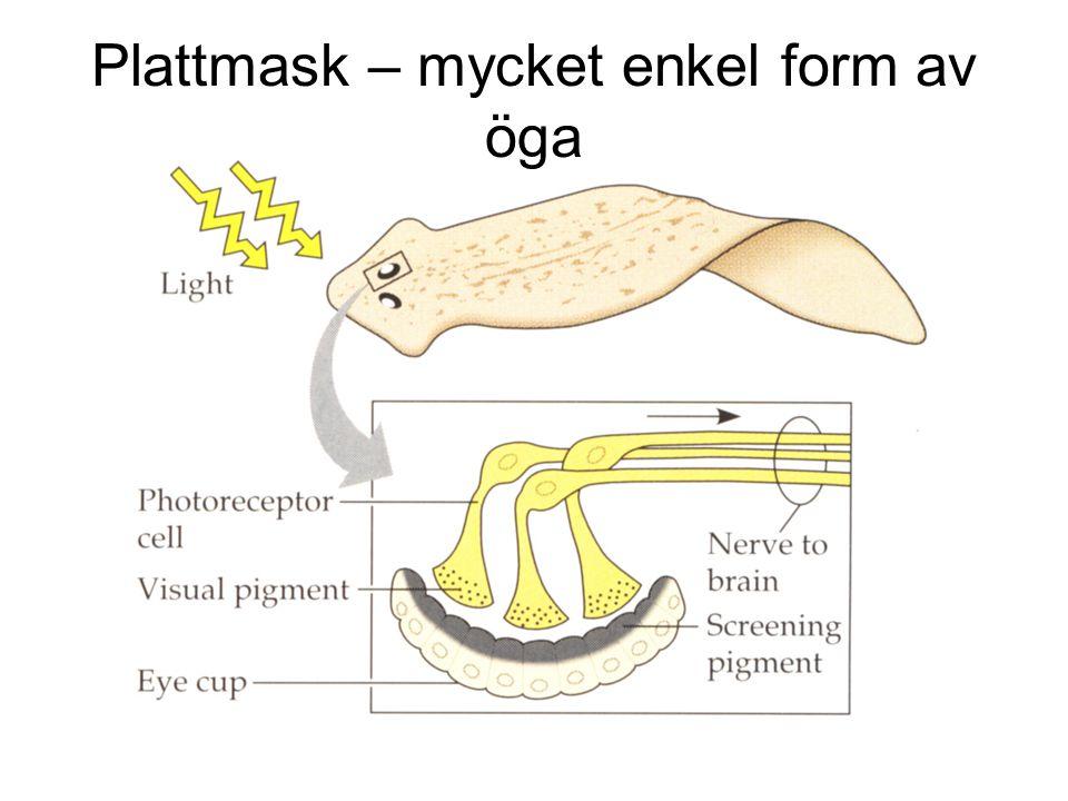 Plattmask – mycket enkel form av öga
