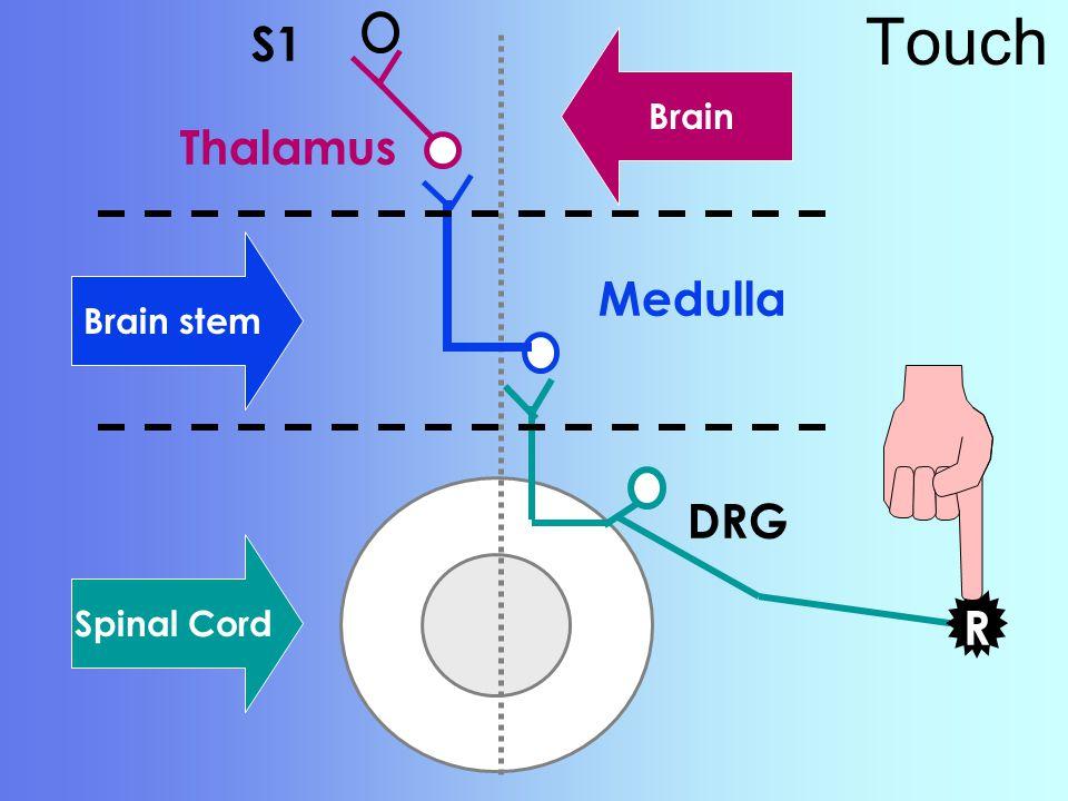 Touch S1 Brain Thalamus Medulla Brain stem DRG Spinal Cord R R