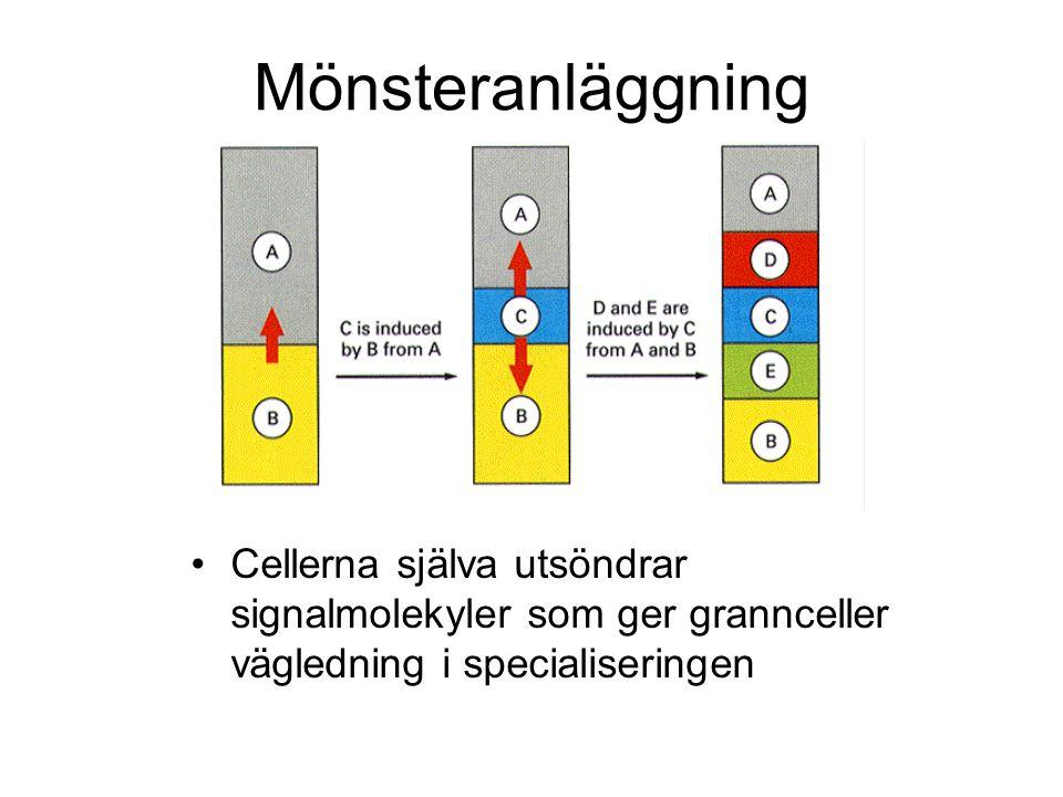 Mönsteranläggning Cellerna själva utsöndrar signalmolekyler som ger grannceller vägledning i specialiseringen.