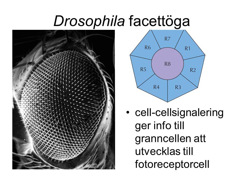 Drosophila facettöga cell-cellsignalering ger info till granncellen att utvecklas till fotoreceptorcell.