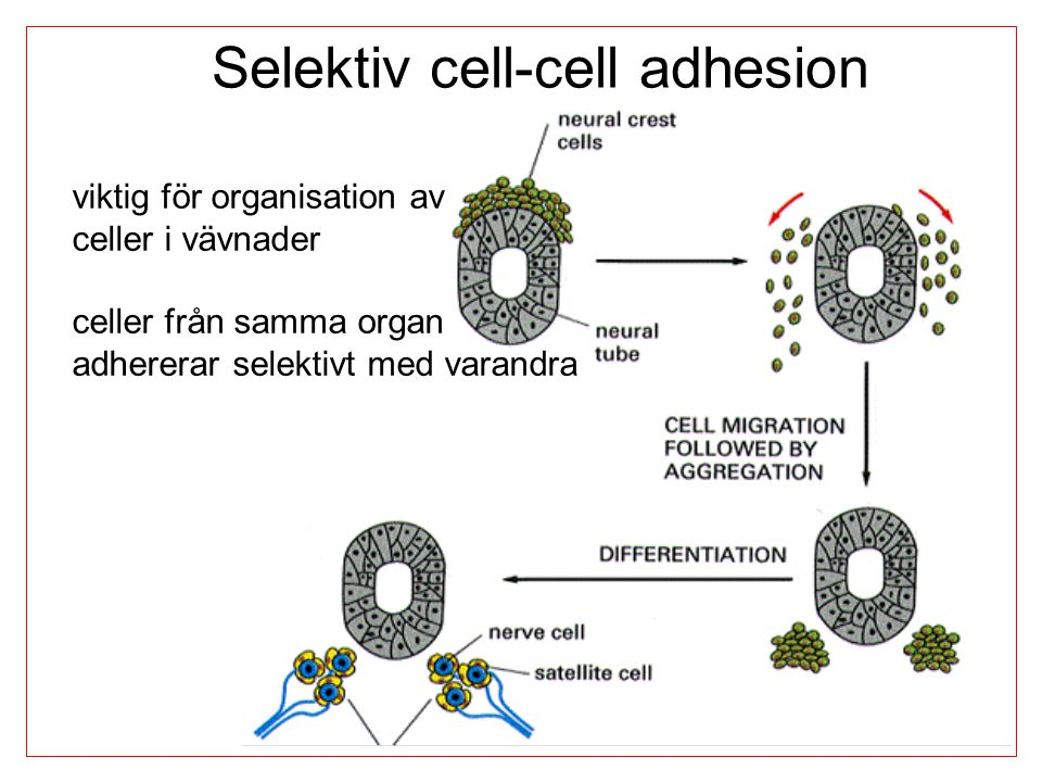 Selektiv cell-cell adhesion