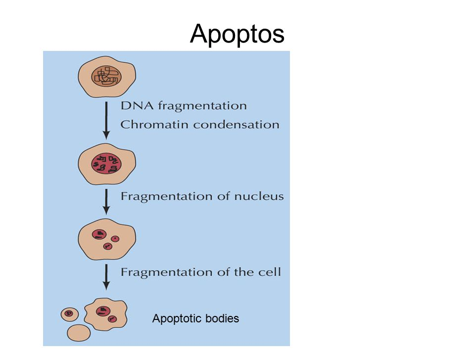 Apoptos Apoptotic bodies