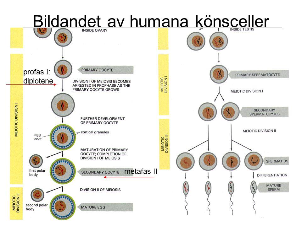 Bildandet av humana könsceller