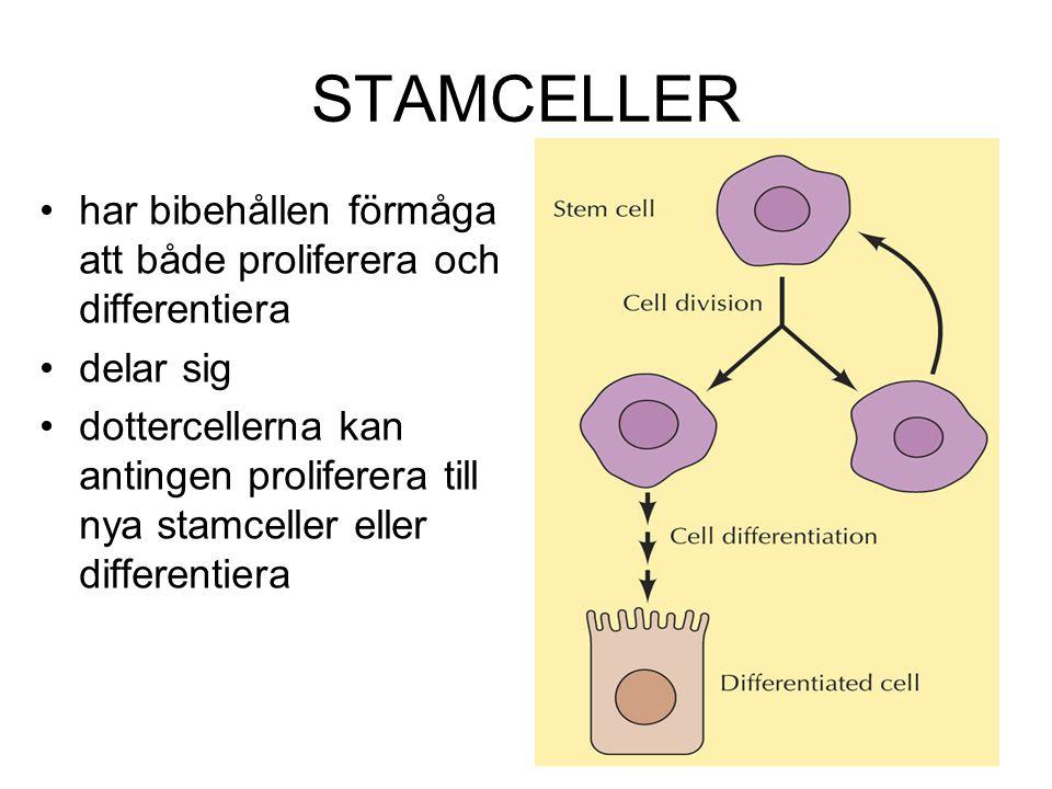 STAMCELLER har bibehållen förmåga att både proliferera och differentiera. delar sig.