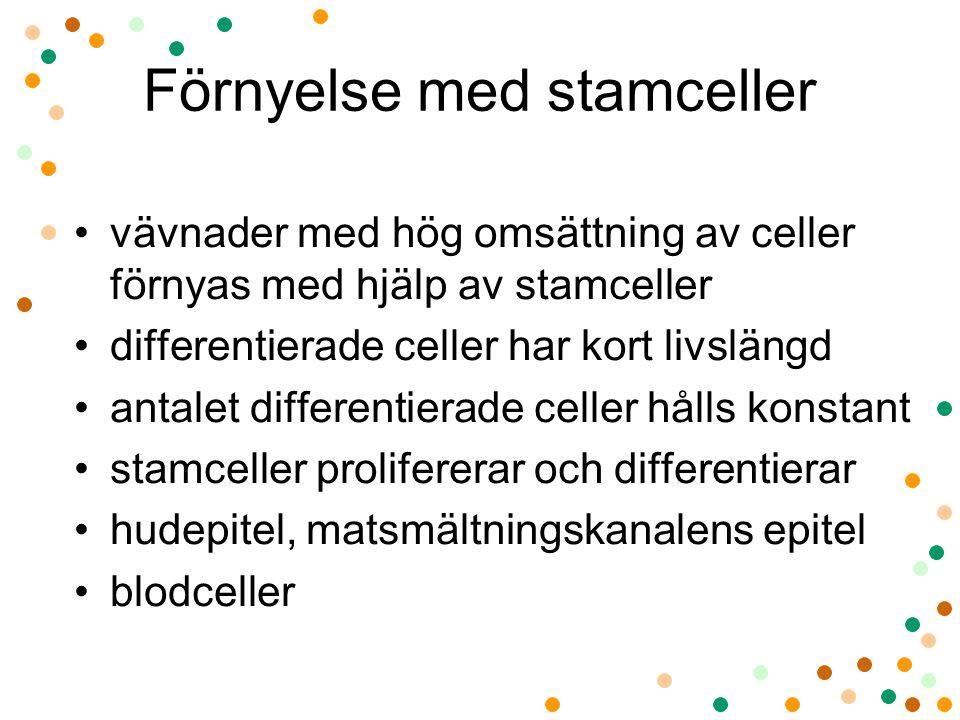 Förnyelse med stamceller