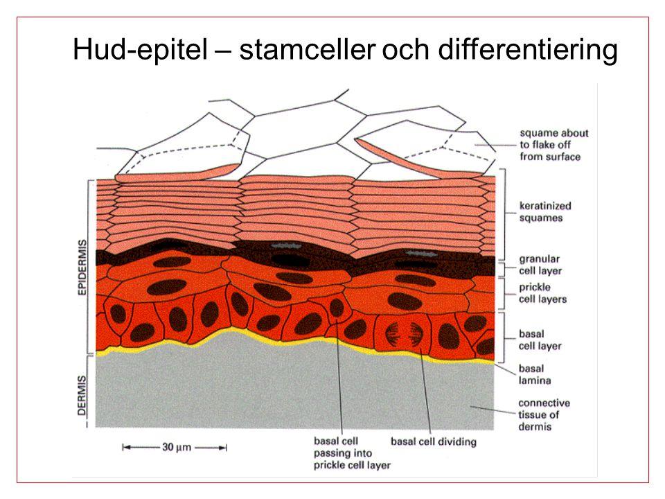 Hud-epitel – stamceller och differentiering