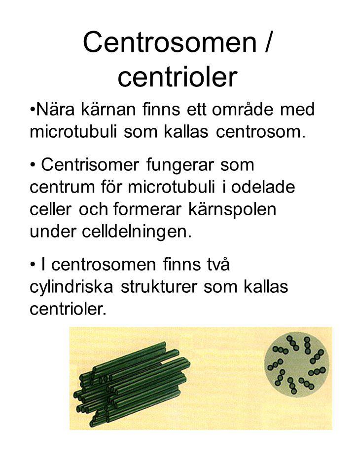 Centrosomen / centrioler