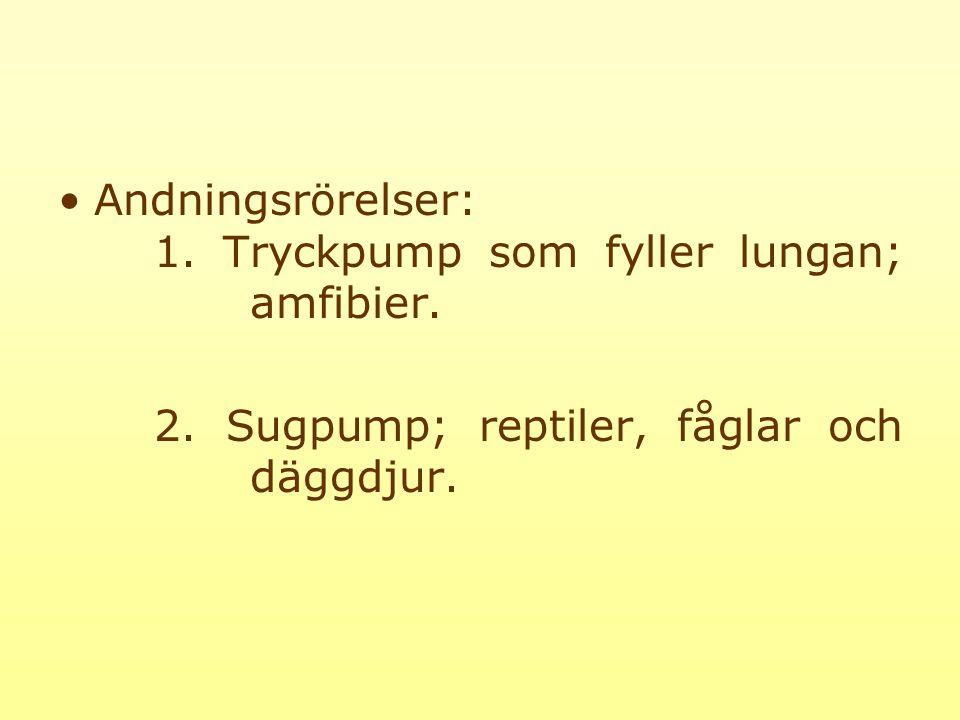 Andningsrörelser: 1. Tryckpump som fyller lungan; amfibier.