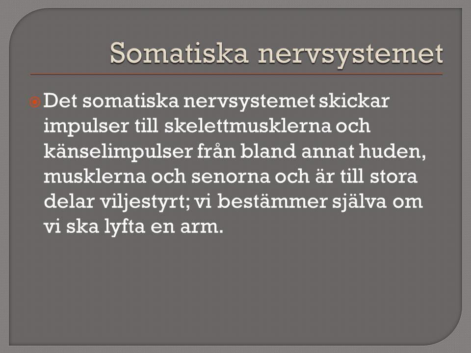 Somatiska nervsystemet