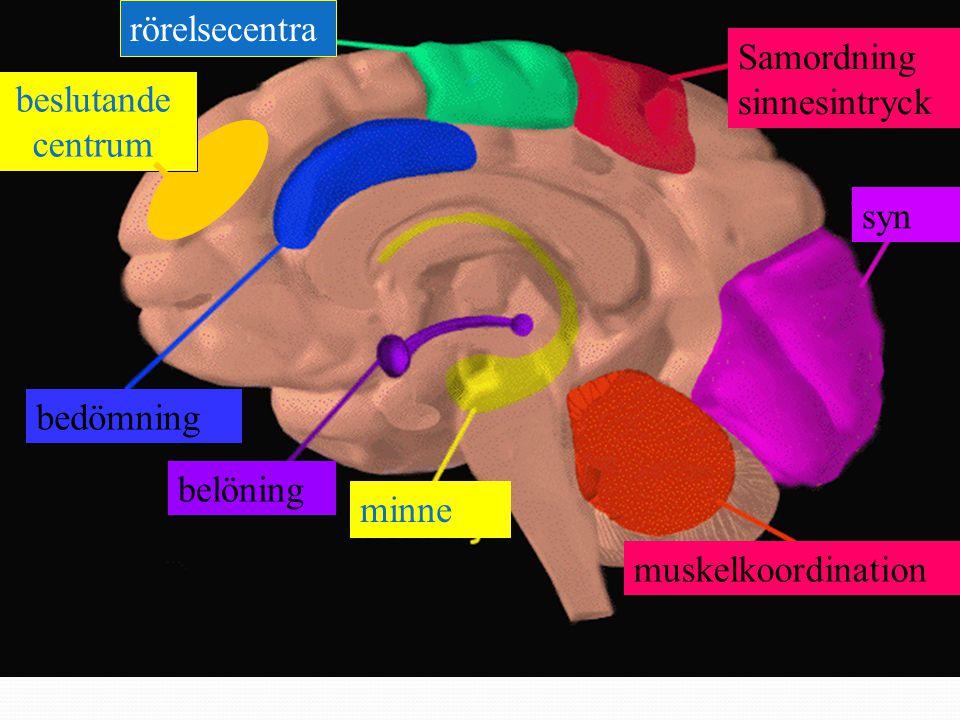rörelsecentra Samordning sinnesintryck. beslutande. centrum. syn. bedömning. belöning. minne.