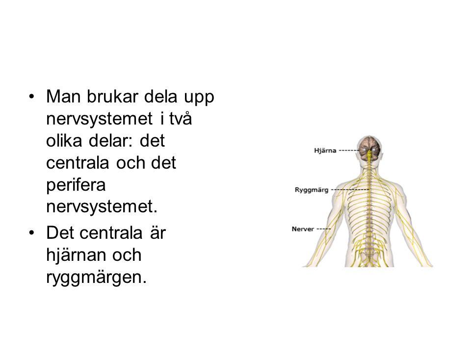 Man brukar dela upp nervsystemet i två olika delar: det centrala och det perifera nervsystemet.