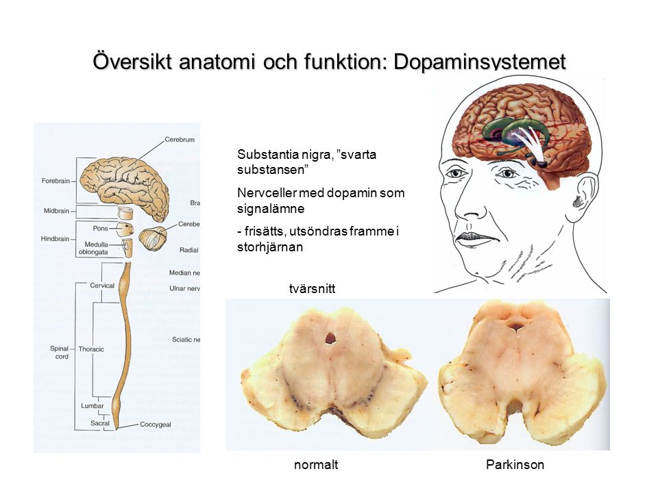 Översikt anatomi och funktion: Dopaminsystemet