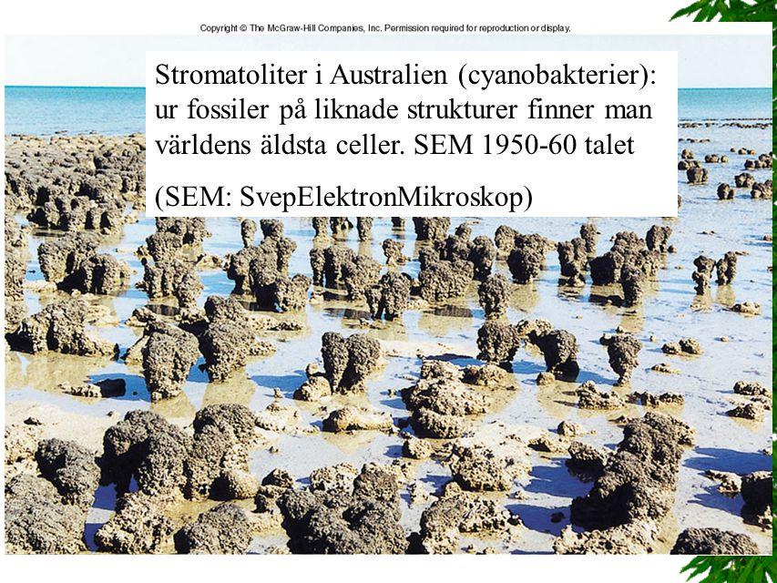 Stromatoliter i Australien (cyanobakterier): ur fossiler på liknade strukturer finner man världens äldsta celler. SEM 1950-60 talet