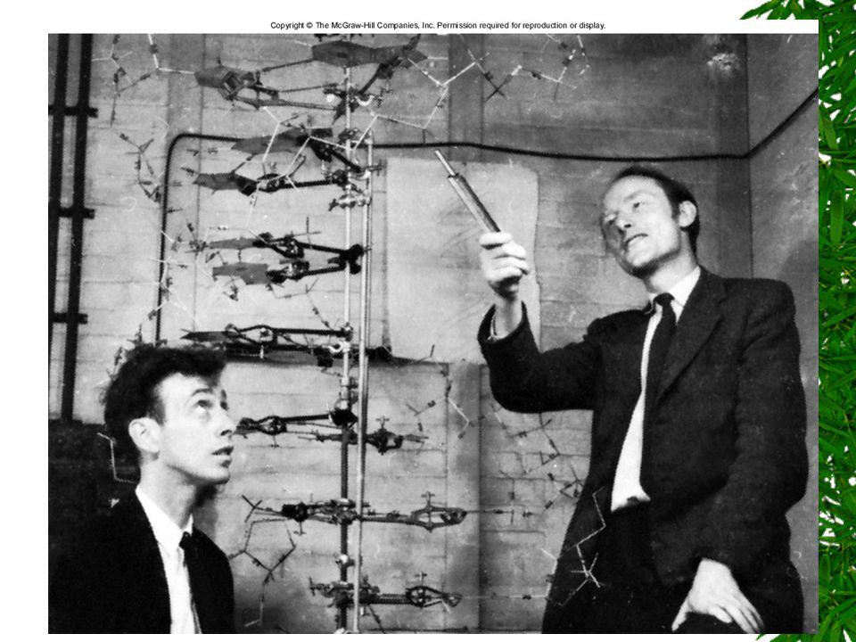 Fig. 1.3 Watson och Crick, 1953 Skapades tillsammans med röntgenkristallografi – man fick bilder som gjorde att dubbelhelixen blev en ide/hypotes.