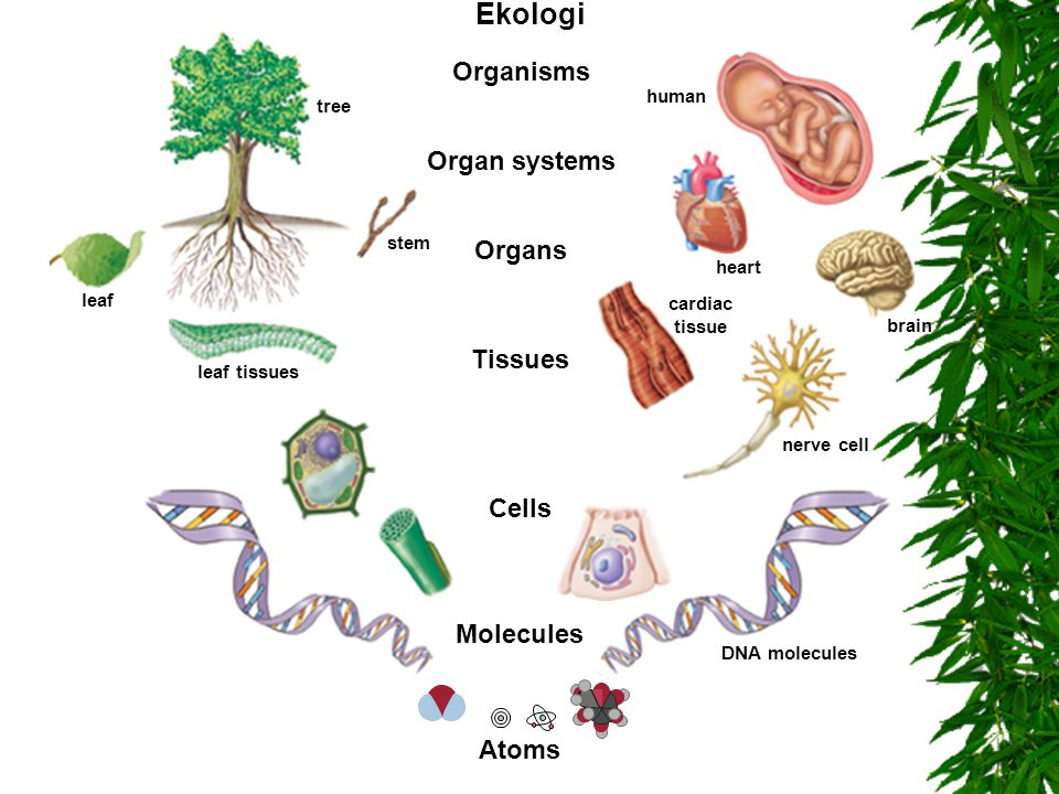 Ekologi Organisms Organ systems Organs Tissues Cells Molecules Atoms