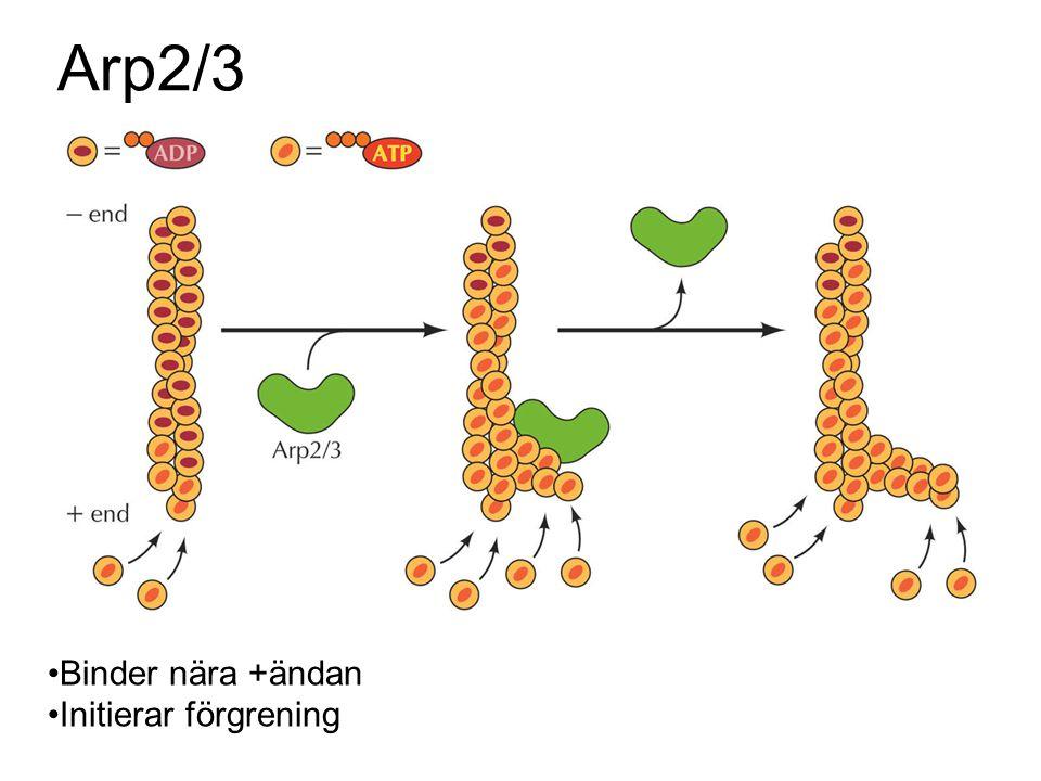 Arp2/3 Binder nära +ändan Initierar förgrening