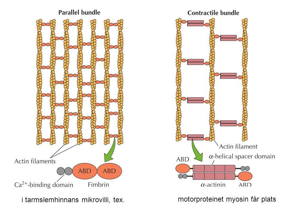 i tarmslemhinnans mikrovilli, tex. motorproteinet myosin får plats