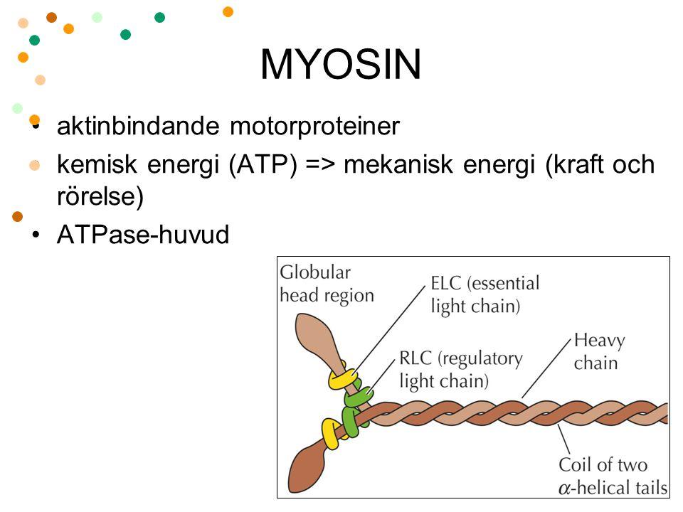 MYOSIN aktinbindande motorproteiner