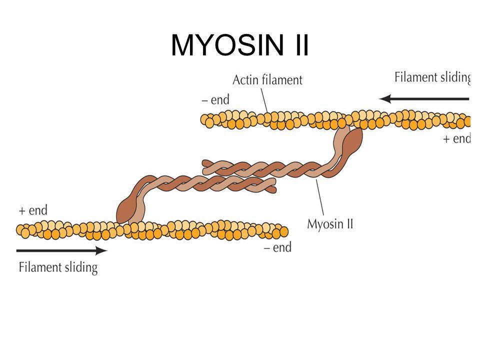 MYOSIN II \Figures-Hi-res\ch11\cell3e11300.jpg