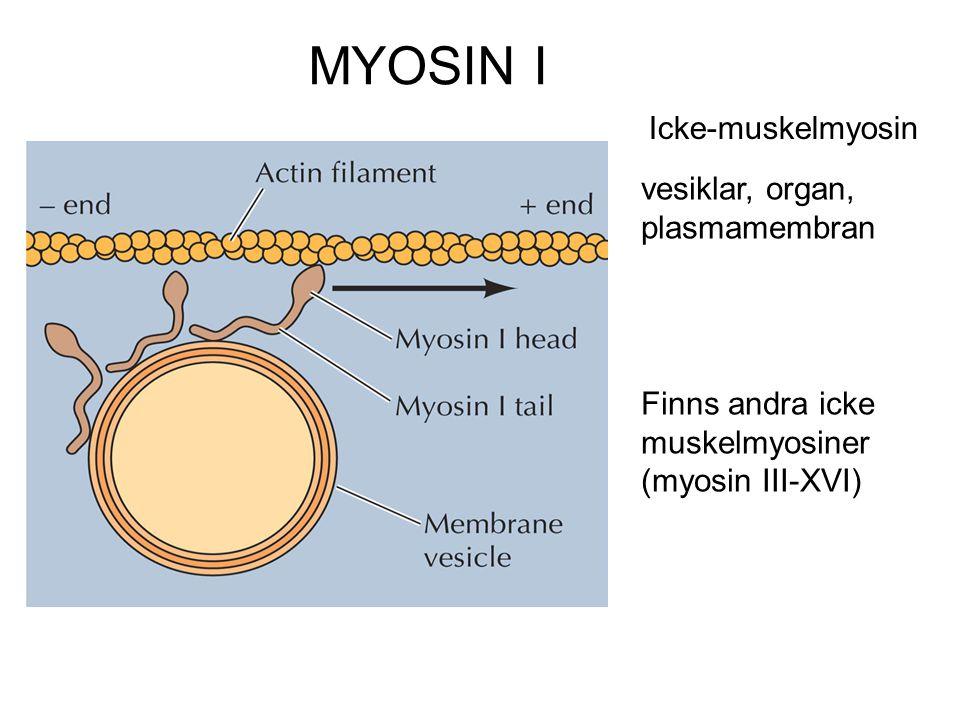 MYOSIN I Icke-muskelmyosin vesiklar, organ, plasmamembran