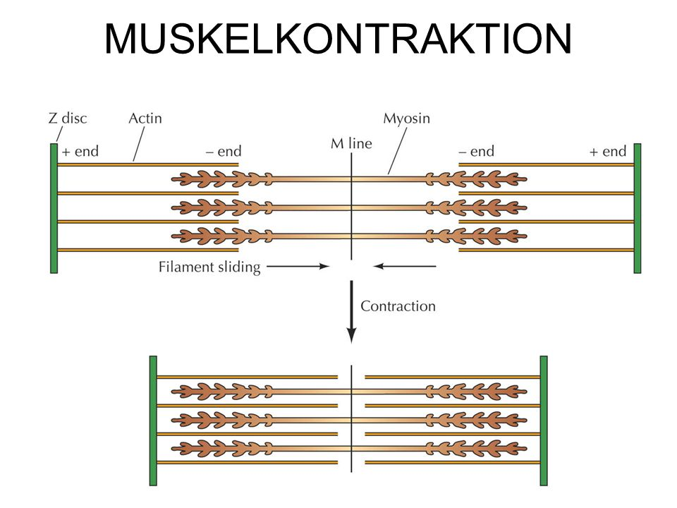 MUSKELKONTRAKTION \Figures-Hi-res\ch11\cell3e11220.jpg