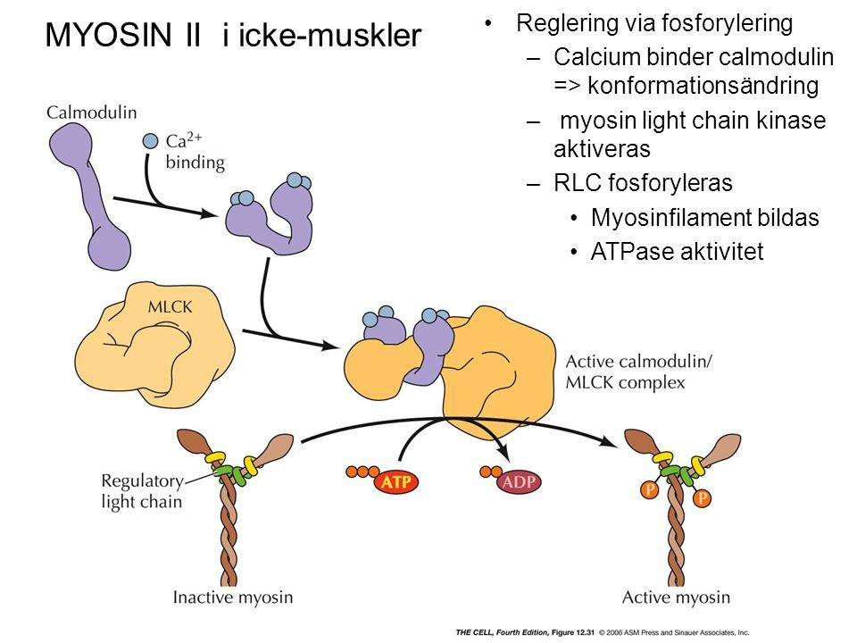 MYOSIN II i icke-muskler