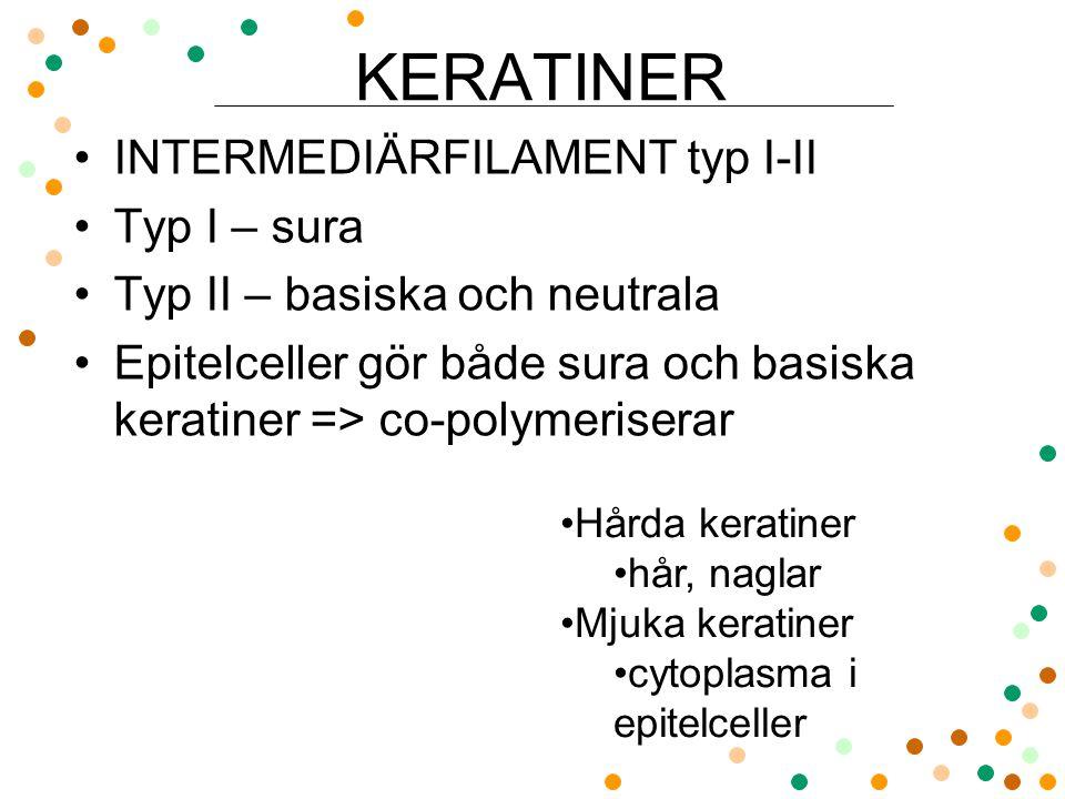 KERATINER INTERMEDIÄRFILAMENT typ I-II Typ I – sura