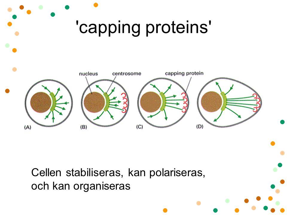 capping proteins Cellen stabiliseras, kan polariseras, och kan organiseras