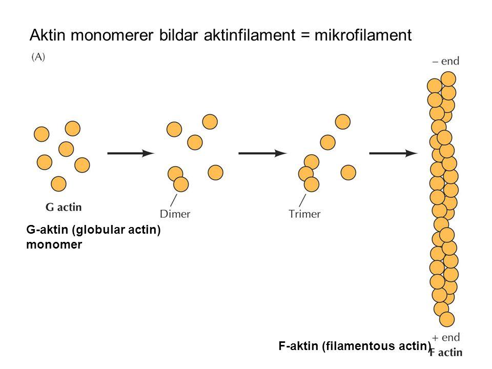 Aktin monomerer bildar aktinfilament = mikrofilament