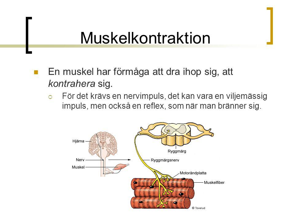Muskelkontraktion En muskel har förmåga att dra ihop sig, att kontrahera sig.