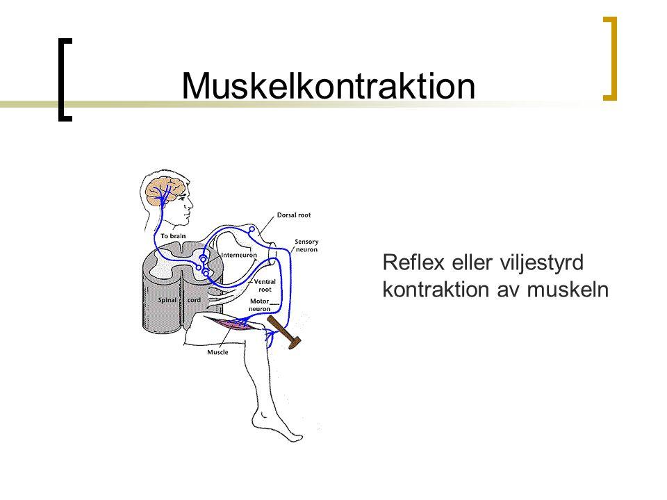 Muskelkontraktion Reflex eller viljestyrd kontraktion av muskeln