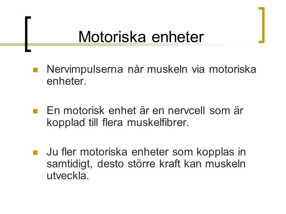 Motoriska enheter Nervimpulserna når muskeln via motoriska enheter.
