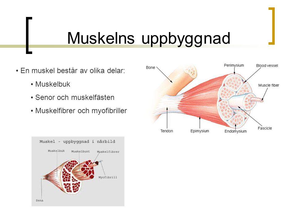 Muskelns uppbyggnad En muskel består av olika delar: Muskelbuk
