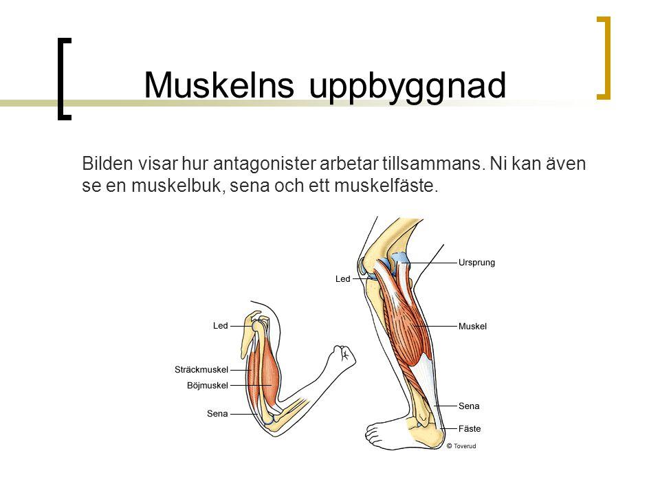 Muskelns uppbyggnad Bilden visar hur antagonister arbetar tillsammans.