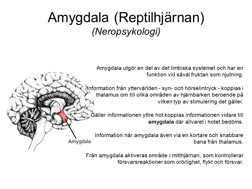 Amygdala (Reptilhjärnan) (Neropsykologi)