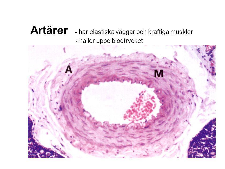 Artärer - har elastiska väggar och kraftiga muskler