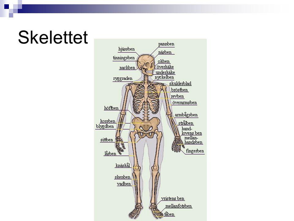 Skelettet