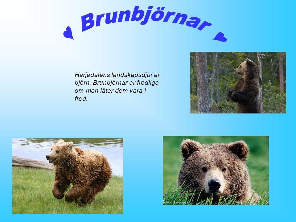 ♥ Brunbjörnar ♥ Härjedalens landskapsdjur är björn.