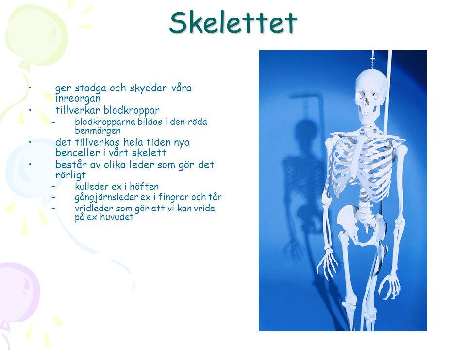 Skelettet ger stadga och skyddar våra inreorgan tillverkar blodkroppar