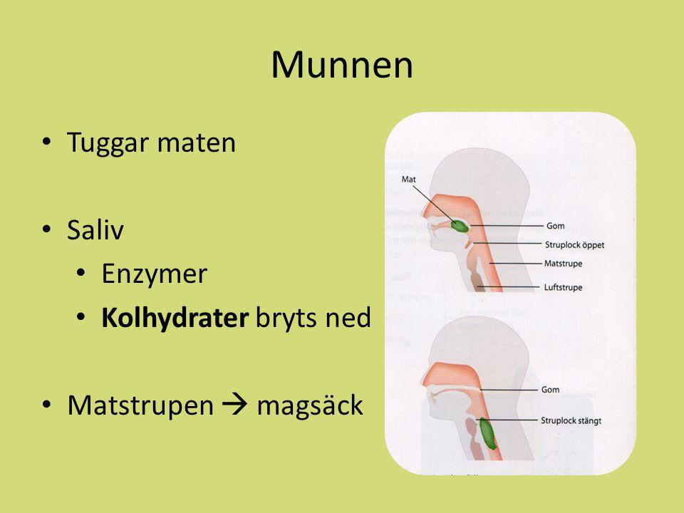 Munnen Tuggar maten Saliv Enzymer Kolhydrater bryts ned