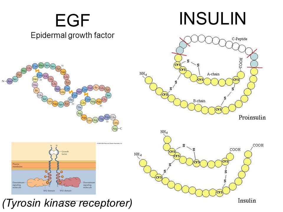 EGF Epidermal growth factor