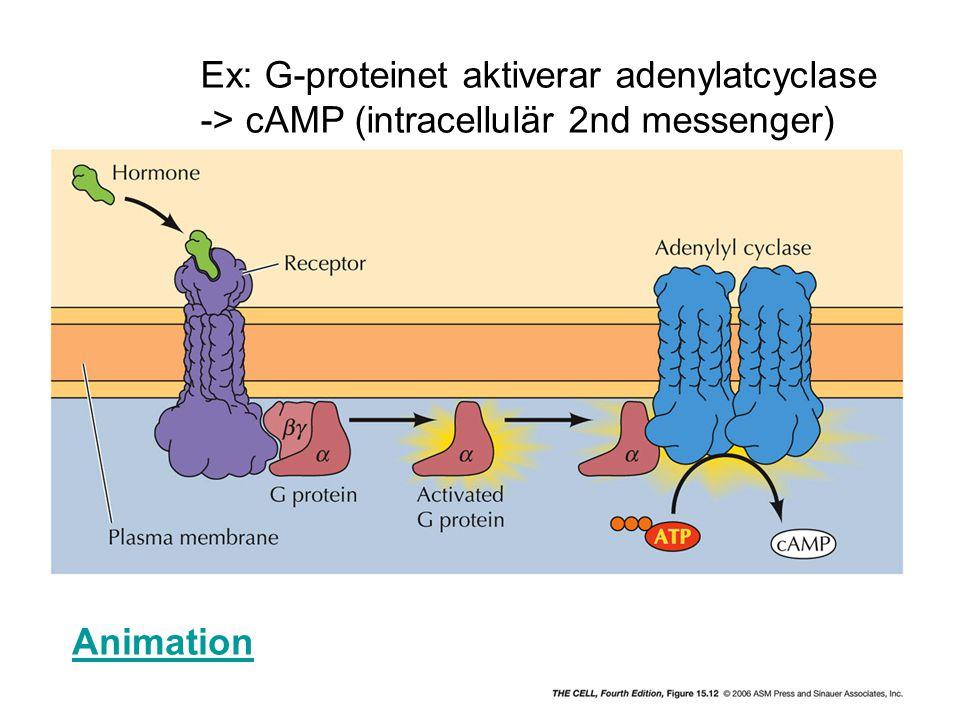 Ex: G-proteinet aktiverar adenylatcyclase