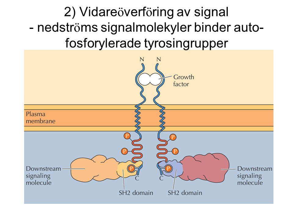 2) Vidareöverföring av signal - nedströms signalmolekyler binder auto-fosforylerade tyrosingrupper