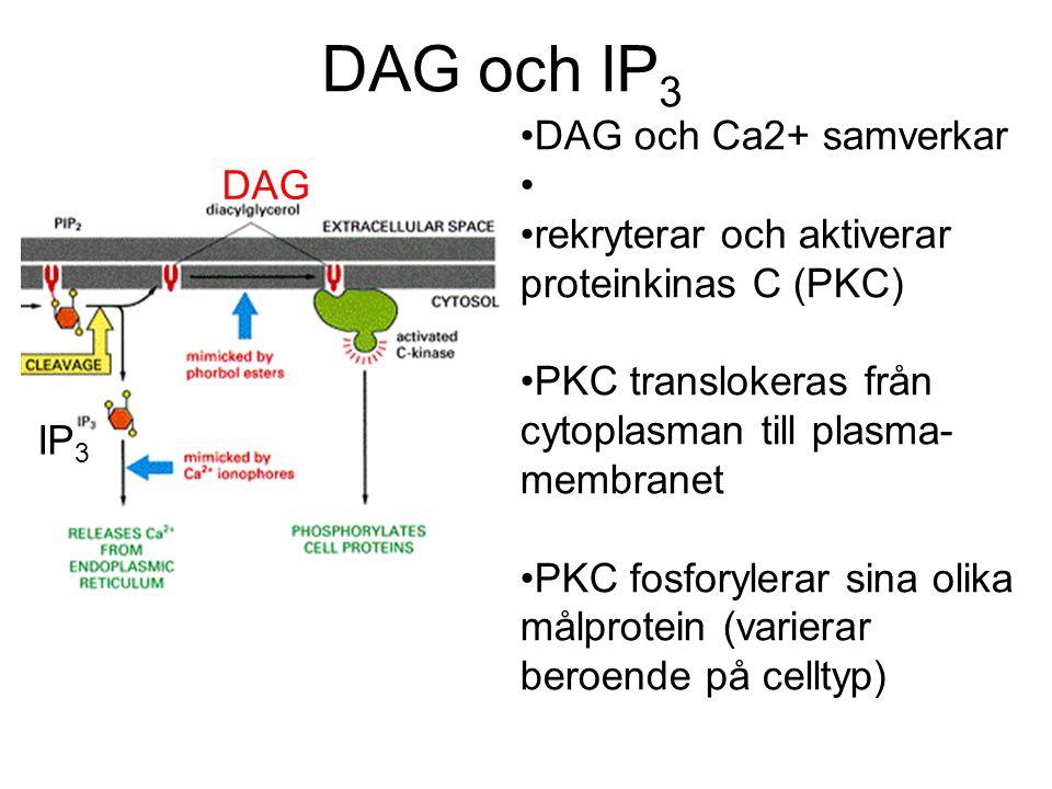 DAG och IP3 DAG och Ca2+ samverkar DAG